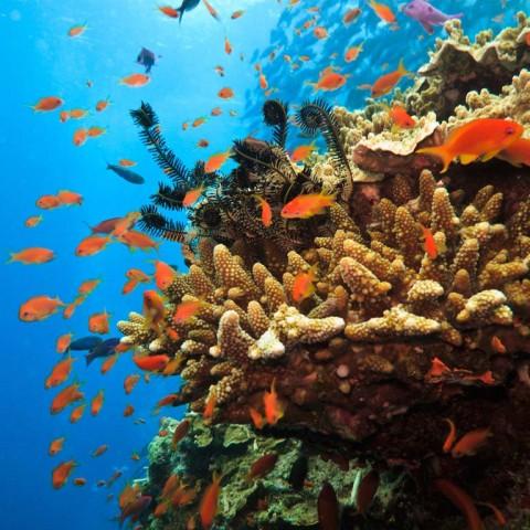 Fish Swimming around Sea Anemones on Great Barrier Reef Australi